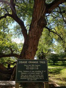 Osage Orange Tree in Old Fort Harrod, Mercer County KY