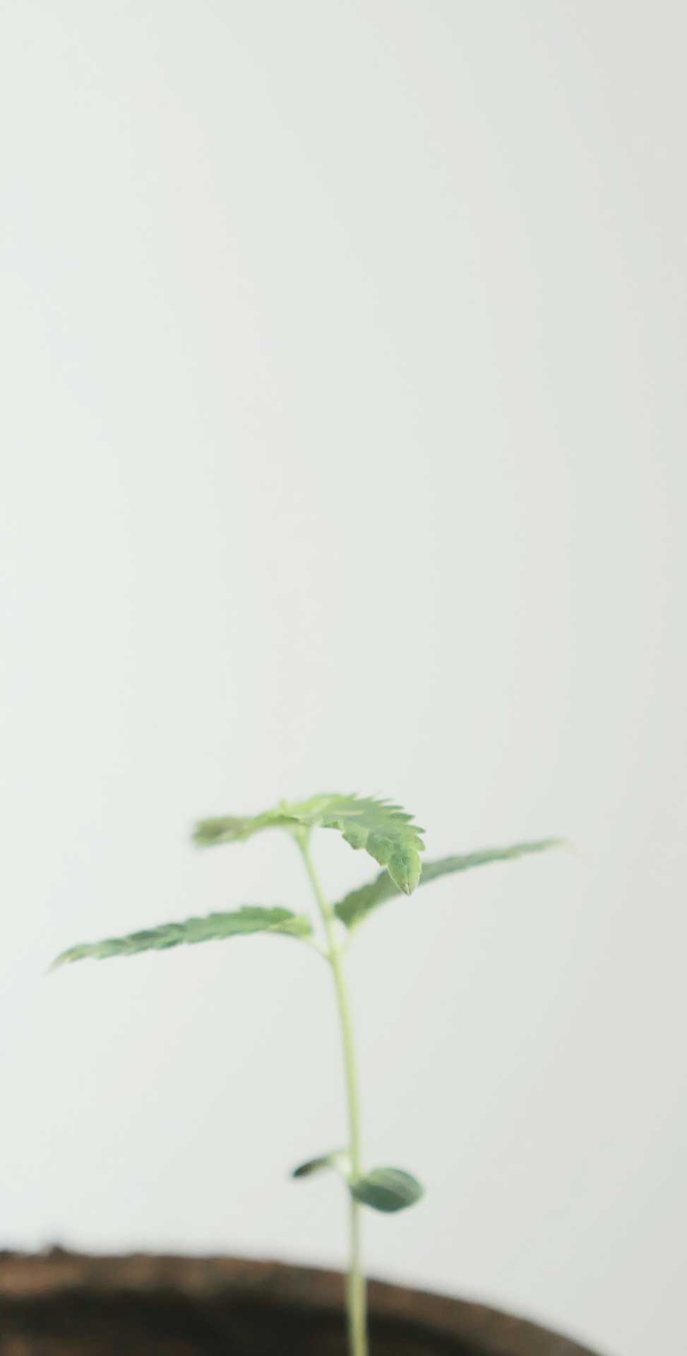 modern uses of hemp and cannibis oil cbd